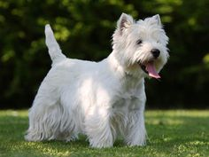 West Highland White Terrier | West Highland White Terrier : chien et chiot. Westie, Terrier blanc ...