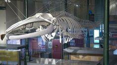 ballena torcal_01--644x362.jpg (644×362) Museo de Ciencias Naturales de Madrid, Spain.