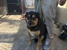 SUPER URGENT 01/15/17 Staten Island ADDONIS  – A1101595  NEUTERED MALE, BLACK / BROWN, ROTTWEILER MIX, 8 yrs STRAY – ONHOLDHERE, HOLD FOR DOH-B Reason BITEPEOPLE Intake condition UNSPECIFIE Intake Date 01/15/2017, From NY 10306, DueOut Date 01/19/2017,
