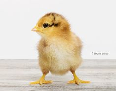 """The Animal Print Shop by Sharon Montrose """"Baby Chick""""....looking forward to getting my fluffy lil' girls this Spring or the next one!"""