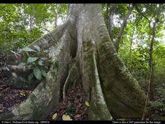Lowland_tropical_rainforest_giant_fig_tree_Costa_Rica_DP9018.jpg (1024×768)