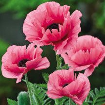 Burning Heart Oriental Poppy | Poppies | Perennial Plants | Jung Garden and Flower Seed Company
