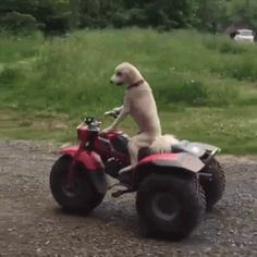 Ride Roscoe, ride!!! | Here's A Dog Taking A Joyride On An ATV Just For Funsies