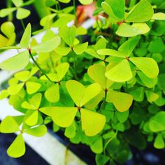 A four leaf clover bring luck to the greenhouse. #plants #botanical #flowers #thebotanicallife