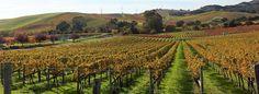 Napa fall vinyard.