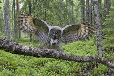 size: Photographic Print: Great Grey Owl (Strix Nebulosa) Landing on Branch, Oulu, Finland, June 2008 by Cairns : Owl Photos, Owl Pictures, Nature Pictures, Owl Wings, Strix Nebulosa, Great Grey Owl, Gray Owl, Horned Owl, Owl Art