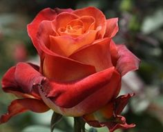Coffee Break - Standard Rose - Roses - Flowers by category | Sierra Flower Finder