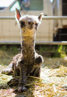 Alpaca farming is a great way to pass the time. However, learn how to make money alpaca farming to avoid making a mistake in your career. Baby Alpaca, Llama Alpaca, Alpacas, Farm Animals, Animals And Pets, Funny Animals, Cute Animals, Cute Creatures, Pet Birds