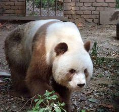 Qi Zai - the brown panda - at the Shaanxi Rare Wild Animals Rescuing and Raising Research Center in Shanxii Province in Northwest China. Panda Love, Cute Panda, Panda Funny, Animals And Pets, Baby Animals, Cute Animals, Animals Beautiful, Beautiful Things, Brown Panda