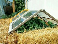 A couple old windows and bails of straw make an inexpensive green house/ cold frame.