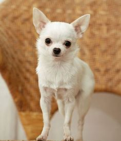 Does your Chihuahua constantly shake? Are you concerned about the well being of your Chihuahua? We have the answer to why Chihuahuas Shake! Raza Chihuahua, Chihuahua Breeds, White Chihuahua, Chihuahua Love, Chihuahua Puppies, Cute Puppies, Cute Dogs, Dogs And Puppies, Best Small Dog Breeds