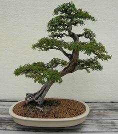 leaning bonsai
