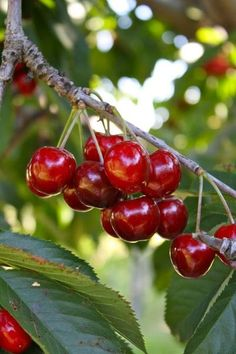 splendid cherries