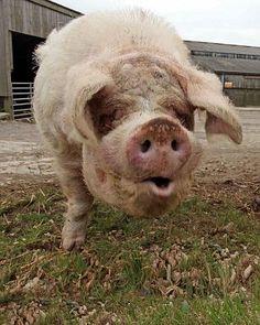 Giant pigs Boris