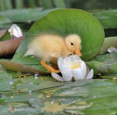 The Lily Pond: Baby duck Cute Baby Animals, Farm Animals, Animals And Pets, Beautiful Birds, Animals Beautiful, Pond Life, Baby Ducks, Paludarium, Lily Pond