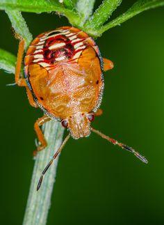 Stink bug nymph ~ By Dan Simon
