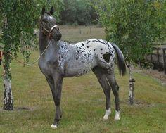 Baby Horses, Draft Horses, Most Beautiful Animals, Beautiful Horses, American Quarter Horse, Appaloosa Horses, All The Pretty Horses, Horse Pictures, Palomino
