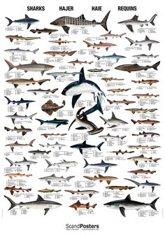 Image result for types of sharks
