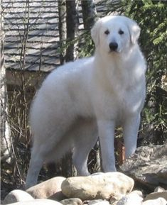Kuvasz are famous as the guard dogs of Hungarian Royal Family. They were brought to Hungary from Tibet by the Turks.