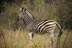 Zebra at Madikwe Game Reserve. Madikwe Game Reserve. Quote & Book: http://www.south-african-hotels.com/