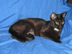 Meet Lilly a Petfinder adoptable Domestic Short Hair Cat | Winter Park, FL | Contact the foster directly please wendygeller@earthlink.netLilly is a fantastic little girl! She...