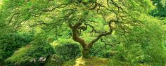 Dragonstail - Portland Japanese Garden Maple Tree by Aaron Reed on 500px