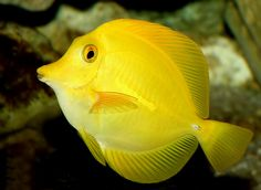 Yellow Animals Beauty Of Animal Yellow Tang Yellow Tang Are In The Surgeonfish Family Yellow Fish Yellow Animals Tang Fish