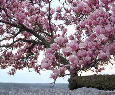 Magnolias at Eden Park, Cincinatti, OH.