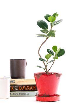 パンダガジュマル - 観葉植物(インテリアグリーン)通販、植え替え・メンテナンス | Regalo