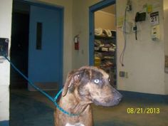 Adopt stray Memorial Dr, Homosassa avail 8/26/13, a lovely  Dog available for adoption at Petango.com.  stray Memorial Dr, Homosassa avail 8/26/13 is a Catahoula Leopard dog / Mix and is available at the  Citrus County Animal Services in INVERNESS, FL