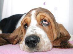 Basset Hound Puppies - 33 Pictures
