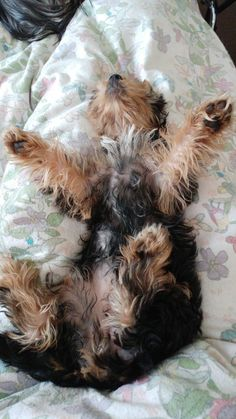 That's how my Winnie takes a nap #yorkshireterrier