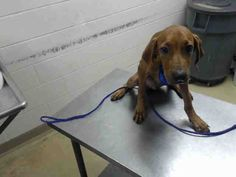 COPPER - ID#A466816 - URGENT - Harris County Animal Shelter in Houston, Texas…