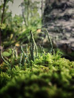 Puikkotorvijäkälä  Cladonia cornuta