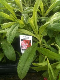 Sweet William plants from £3.99