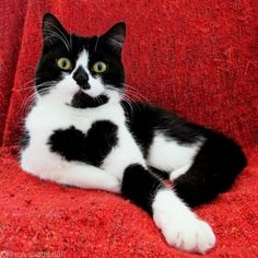 Cat Literally Wears Her Heart On Her Chest