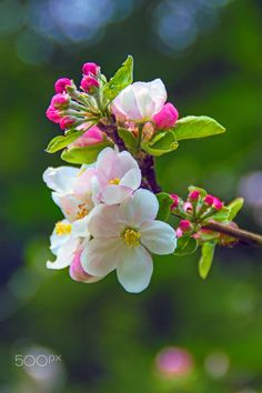 I remember in spring Beautiful Rose Flowers, Wonderful Flowers, Beautiful Flower Arrangements, Exotic Flowers, Beautiful Flowers, Apricot Blossom, Sakura Cherry Blossom, Apple Flowers, Floral Doodle