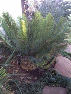 E.ghelincii (berg form)