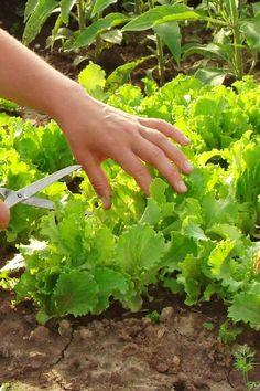 Sla kweken kun je het hele jaar door doen. Lees hier hoe je het best sla kweken kunt in je eigen moestuin.