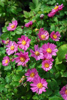 Anemone Pamina Pink Perennials, Deer Resistant Perennials, Garden Plants, Board, Summer, Flowers, Summer Time, Planks