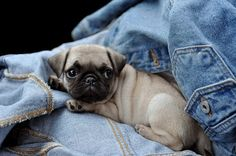 I don't even like pugs but I'll make an exception for this adorable pup. Amor Pug, Sweet Dogs, Cute Dogs, Pug Puppies, Chihuahua, Raza Pug, Baby Animals, Cute Animals, Pet Parade