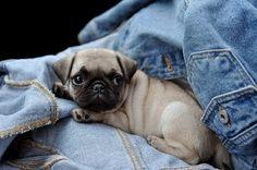 Adorable little pug in Jean Jacket.   #Pug #Dog #Chien #ReitmansJeans #BlueJeans #Jeans #Cute #Adorable
