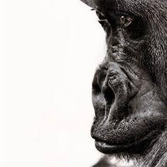"""Série fotográfica """"Planet of the Apes"""" retrata macacos expressando sentimentos em cativeiro."""