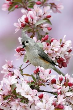 Tufted Titmouse on Crabapple Tree | www.leamanphoto.com