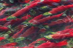 Masses of Sockeye Salmon (Oncorhynchus nerka) swimming upstream at the edge of the lower Adams River, where the current is not as rapid as in the center of the river, during the biggest run in 100 years, Roderick Haig-Brown Provincial Park, British Columbia, Canada, October, Adams_River_Sockeye_Salmon-1298