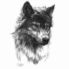 A Beautiful Wolf Drawing.