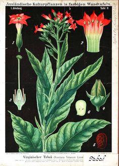 Botanical - Educational Plate - Black - Nicotiana tabacum Linnä