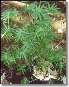 Bambusa multiplex cv Fernleaf....hedge bamboo