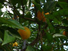 portakalım