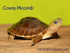 ITS FACE!! <3 McCord's Box Turtle for sale from The Turtle Source